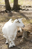 Billy goat. Cute little billy goat with short stubby legs royalty free stock image