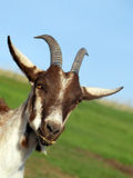 Billy goat Royalty Free Stock Images