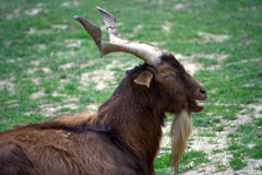 Billy goat 2. Billy goat laying on the grass Stock Photography