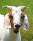 billy goat Obrazy Stock