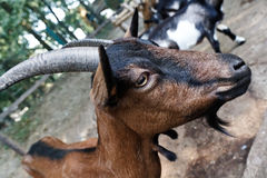 Billy goat Stock Photography