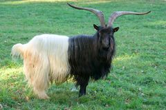 Billy goat. A black white billy goat in the meadow Stock Photos