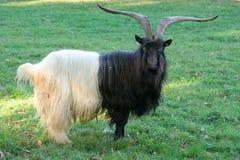 Billy goat Stock Photos