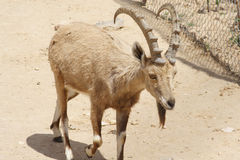 Billy goat. With big horn stock photos