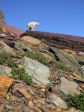 Billy Goat Stock Photo