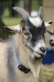 Billy the Goat. Side portrait of young male pet Goat Stock Images