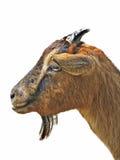 Billy Goat Royalty Free Stock Photo