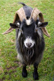 Billy Goat Stock Image