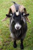 Billy Goat Στοκ Εικόνα