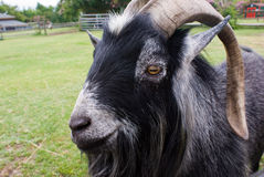 Billy Goat Stock Photo