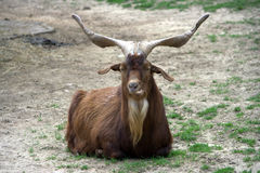 Billy goat 3. Billy goat laying on the grass Royalty Free Stock Images