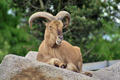 Billy goat. On a rock Royalty Free Stock Photos
