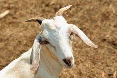 Billy Goat imagem de stock