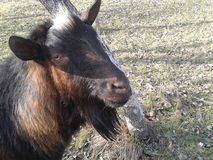 Billy Goat Fotografie Stock