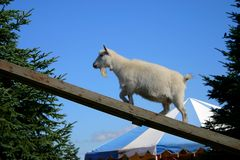 Billy goat. Goat climbing ramp royalty free stock photos