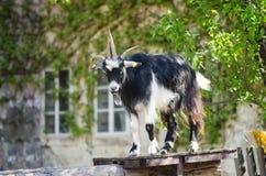 Billy Goat imagens de stock