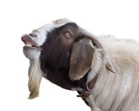 Billy Goat. Brown and white billy goat braying talking or smiling royalty free stock photo
