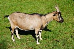 Billy Goat fotografia de stock royalty free