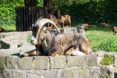 Billy Goat foto de stock