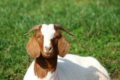 Billy goat. Laying in a pasture stock photo