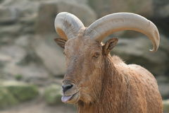 billy goat Obraz Royalty Free