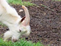 Billy Goat Stockfotos