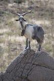 Billy Goat fotos de stock