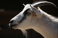 Billy Goat Lizenzfreie Stockbilder