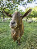 Billy Goat Image libre de droits