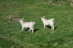 Billy Goat Immagine Stock Libera da Diritti