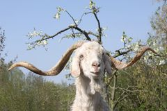 Billy Goat. Billy the Goat with his Big Horns is looking at you royalty free stock photos