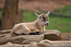 Billy goat baby closeup Stock Images