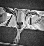 Billy Goat in Barn Royalty Free Stock Images