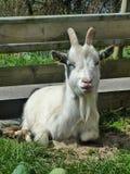 Billy Goat bonito imagem de stock