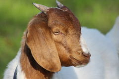 Billy Goat. The billy goat is brown and white with horns growing from the top of its head. They bleat and make a loud noise. A pet billy goat likes to be around royalty free stock photos