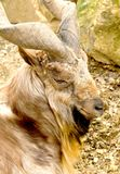 Billy-goat Royalty Free Stock Photos