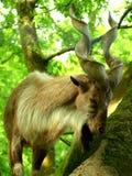 Billy goat close up Stock Photos