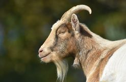 Billy goat close up of head and face. A handsome billy goat in profile with a happy smiling expression stock photo