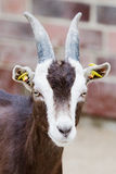 Billy goat closeup Stock Photo