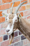 Billy goat closeup Royalty Free Stock Image