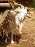 Billy goat. Curious white billy goat with beard looks out of barn Royalty Free Stock Images