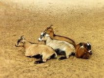 Billy Goat de reclinación Imagen de archivo