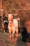 Billy Goat e cabra preta em um sheepfold fotografia de stock