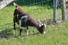 Billy Goat e pasto mais verde imagens de stock royalty free