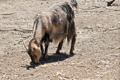 A billy goat. The billy goat is eating hay in a paddock royalty free stock image