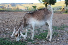 Billy goat eating Royalty Free Stock Photo