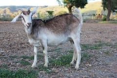 Billy goat eating Stock Image