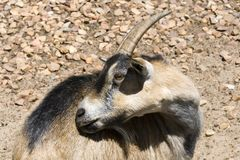 Billy goat on farm Stock Photo