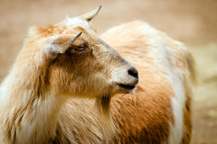 Billy goat on farm Stock Photography