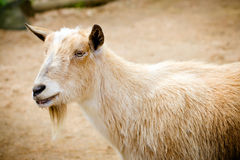 Billy goat on farm Royalty Free Stock Image